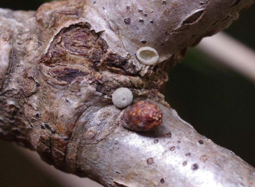 オオミドリシジミの越冬卵181129.JPG