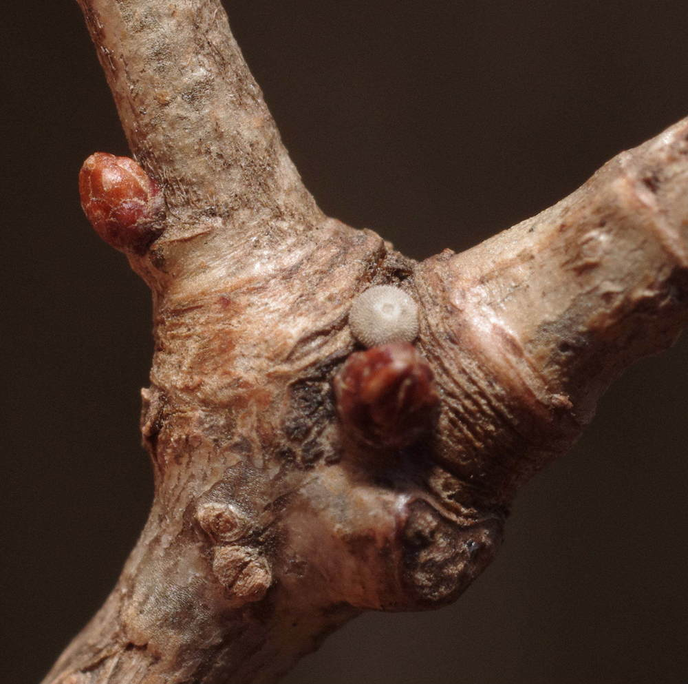 オオミドリシジミの越冬卵200103.JPG