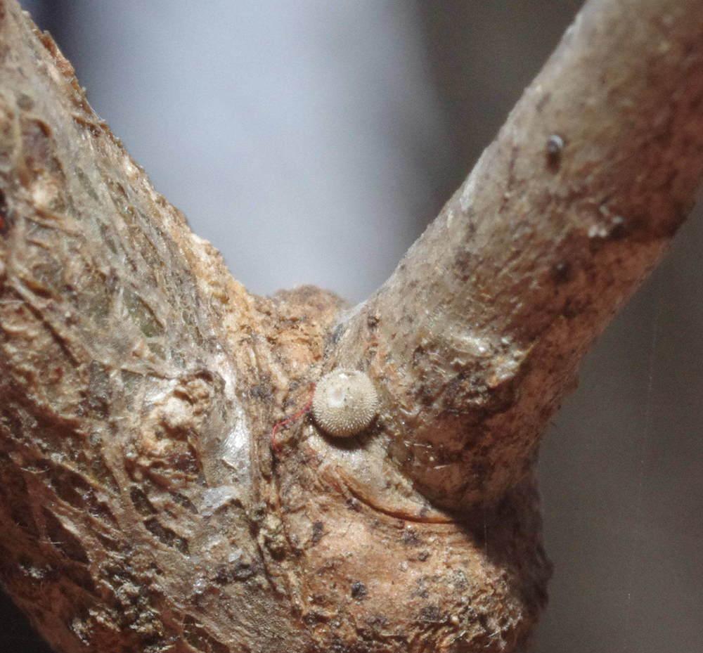 オオミドリシジミ越冬卵181226.JPG