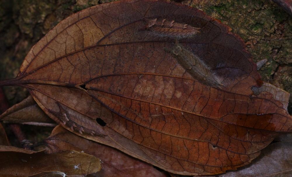 オオムラサキ&ゴマダラチョウ越冬幼虫181201.JPG