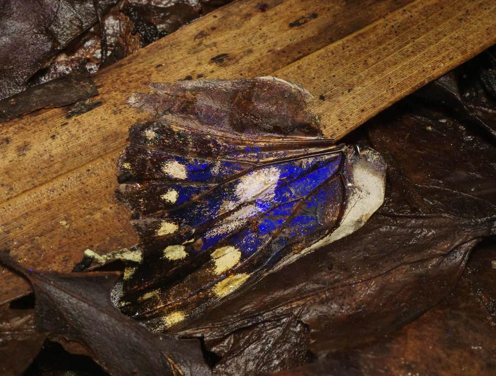 オオムラサキ♂翅190713.JPG