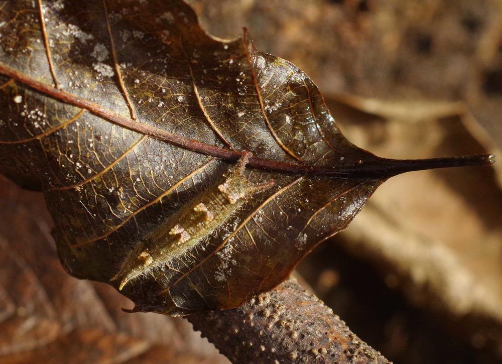 オオムラサキ幼虫191124.JPG