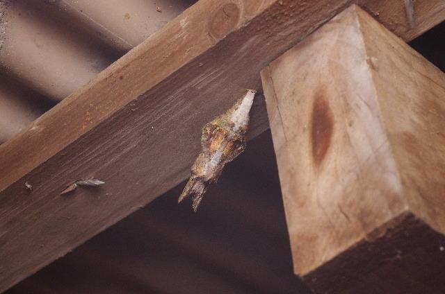 オナガアゲハの蛹190220.JPG