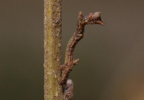 キマエアオシャク越冬幼虫160312.JPG