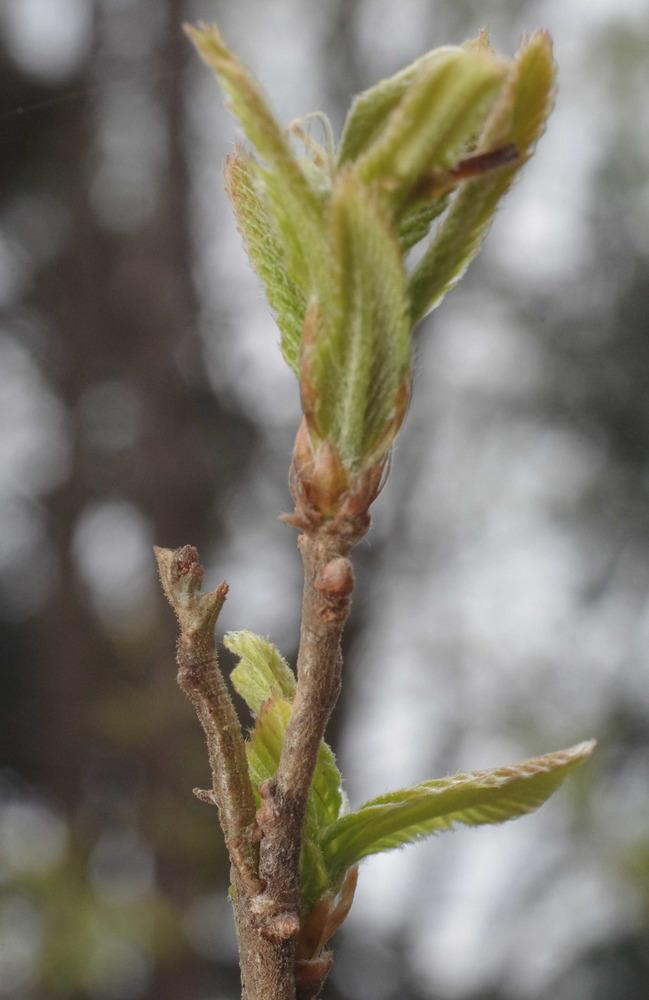 キマエアオシャク越冬幼虫200412.JPG