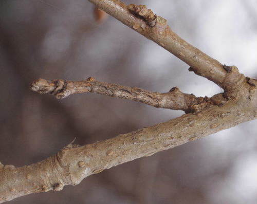 クワエダシャク越冬幼虫170114.JPG