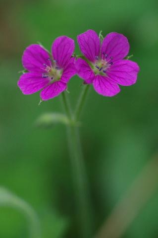 ゲンノショウコ赤花型110919.JPG