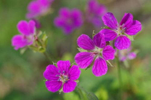 ゲンノショウコ赤花型140921.JPG