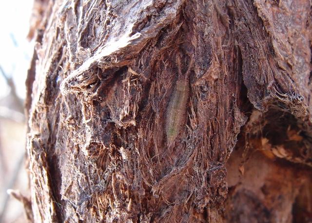 コムラサキの幼虫120325.JPG