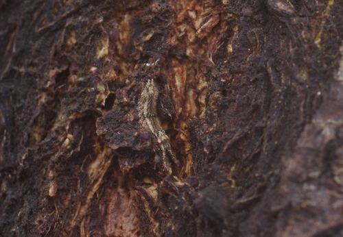 コムラサキの越冬幼虫141229.JPG