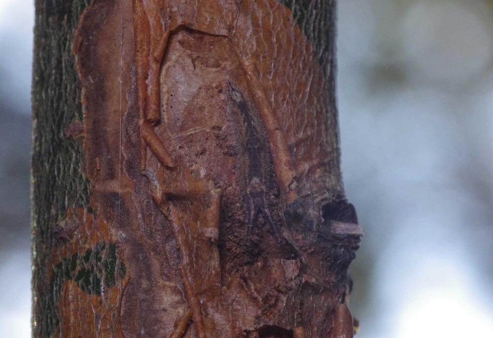 コムラサキ越冬幼虫181201.JPG
