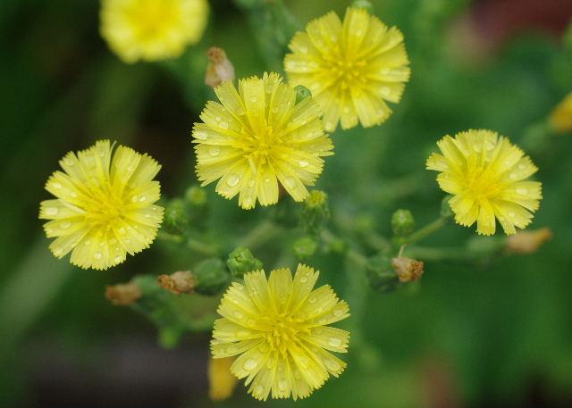 サンチュの花111106-1.JPG