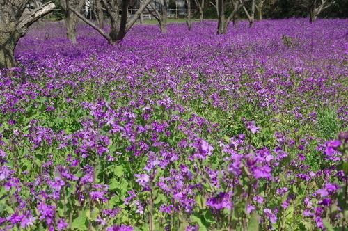 ショカツサイの花畑170402-1.JPG