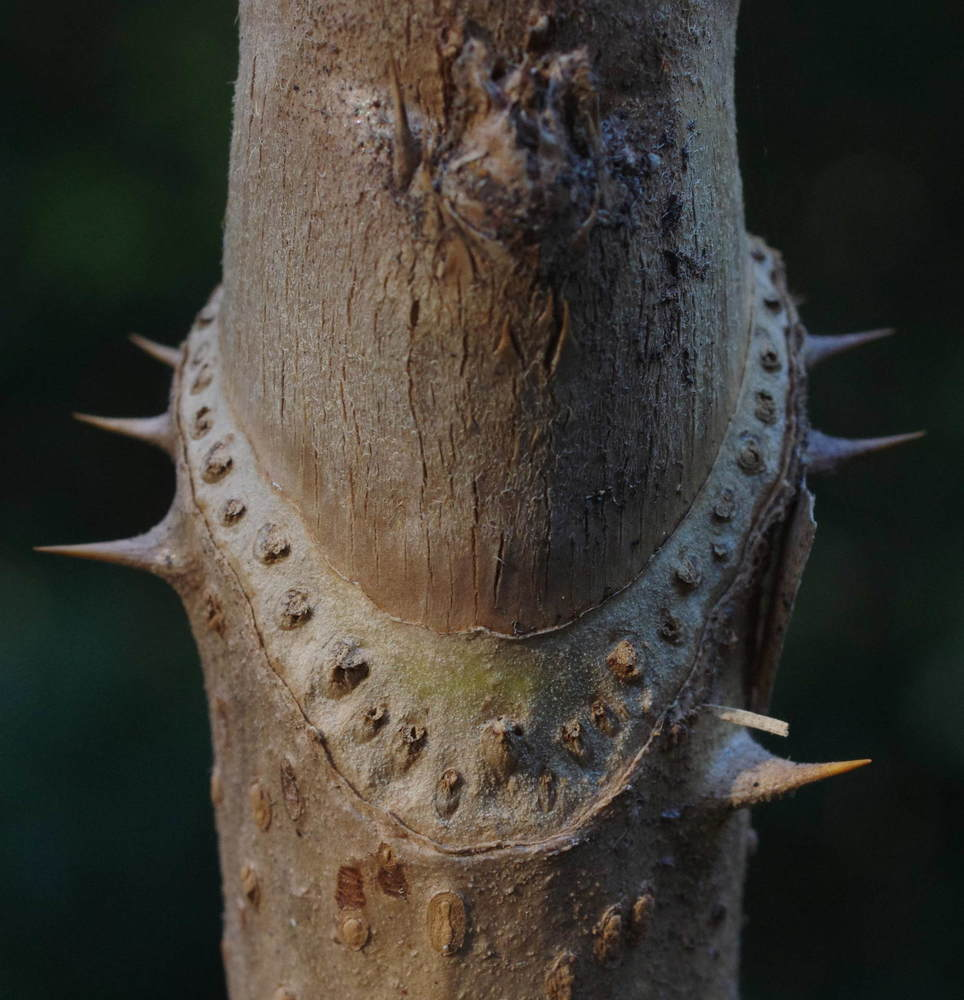タラノキの葉痕190104.JPG