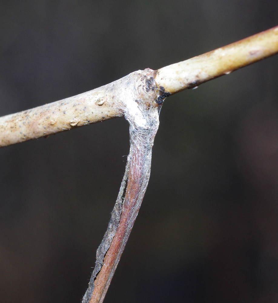 ミスジチョウの糸180224.JPG