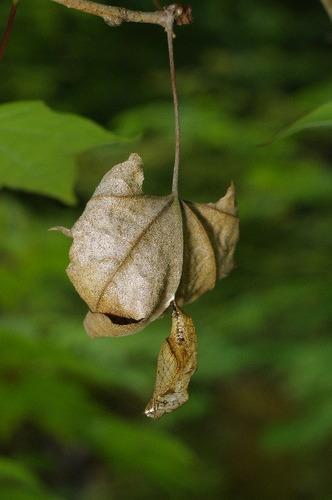 ミスジチョウの蛹160502-1.JPG