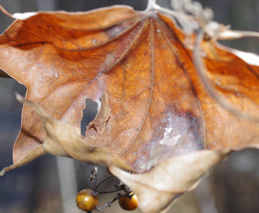 ミスジチョウの越冬幼虫180224-1.JPG