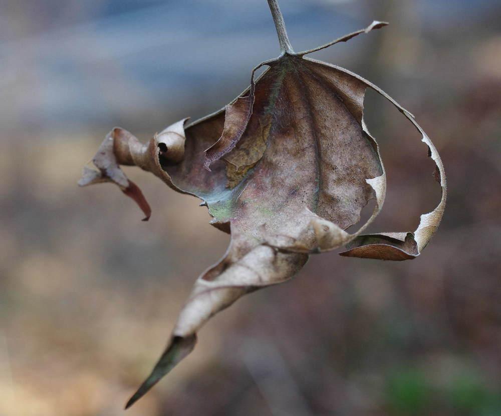 ミスジチョウの越冬幼虫180224.JPG