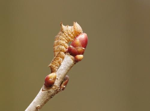 ミスジチョウ越冬幼虫160305-2.JPG