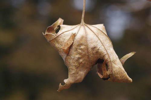 ミスジチョウ越冬幼虫160305-4.JPG