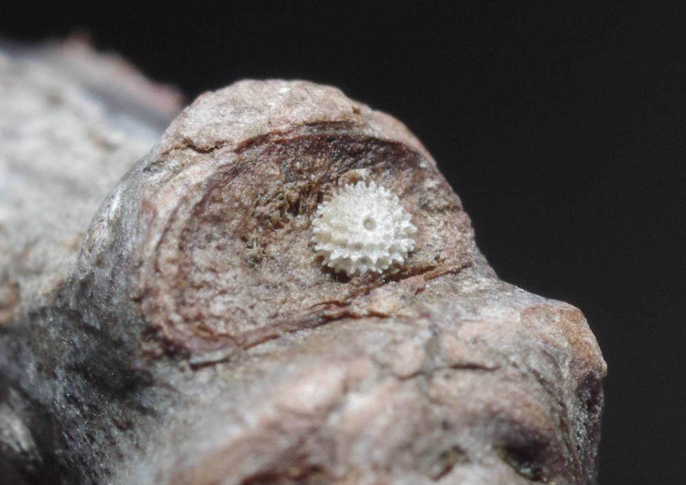 ミズイロオナガシジミ越冬卵191222.JPG