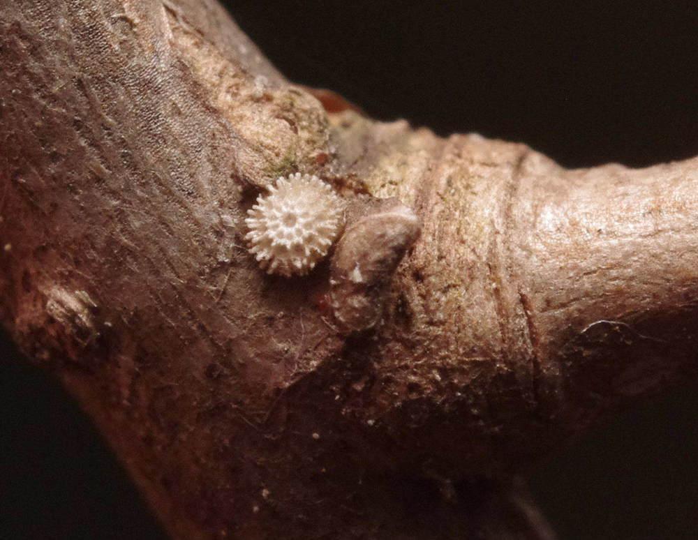 ミズイロオナガシジミ越冬卵200112.JPG