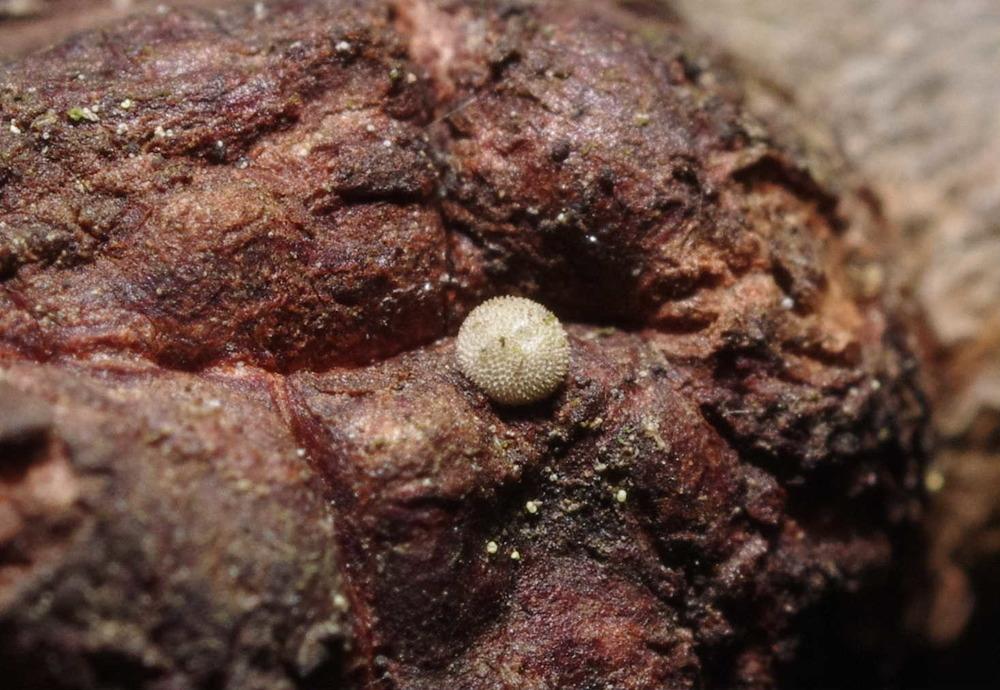 ミドリシジミの越冬卵191222.JPG