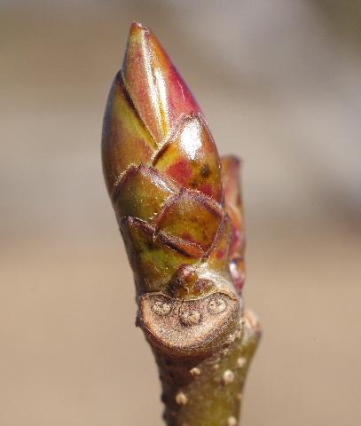 モミジバフウの葉痕150118.JPG